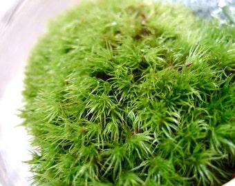 Mood Moss--terrarium supplies
