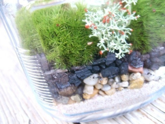 DIY Live Moss Terrarium Kit with easy instructions (PLUS-Free Bonus Moss Variety)