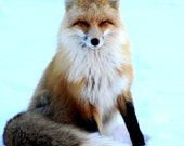 McCall Red Fox posing for the camera