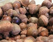 Lot of Fall Harvest Acorns, dried, clean, ready for natural display or crafting