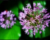 photograph Allium Blooms - 8x10 Photographic Metallic Print Fine Art gifts for woman men man