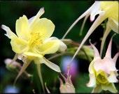 photograph Whispering Yellow Columbine Blooms - 8x10 Metallic Photographic Print Fine Art gifts for woman men man