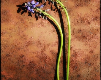 photograph Withered Grape Hyacinth Sprigs- 8x10 Metallic Photographic Print Fine Art gifts for woman men man