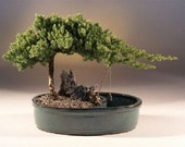 EXT LG DIY Kit Supplies- Bonsai Procumbens Nana Juniper Plant  . . . Everything but the pot to grow it in . . .