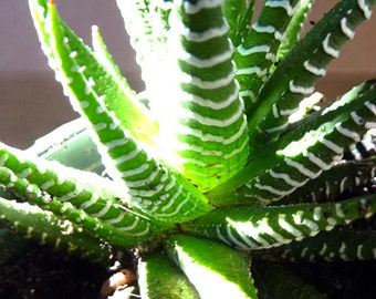 Mini Succulent . . . Zebra Plant . . . Haworthia fasciata