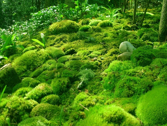 Live MOSS . . . Quart Bag of THREE Varieties for Terrariums . . . Cushion Moss, Mood Moss and Mystery Moss
