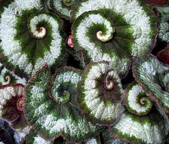 Escargots 2 4 Potted Tropical Rex Begonias