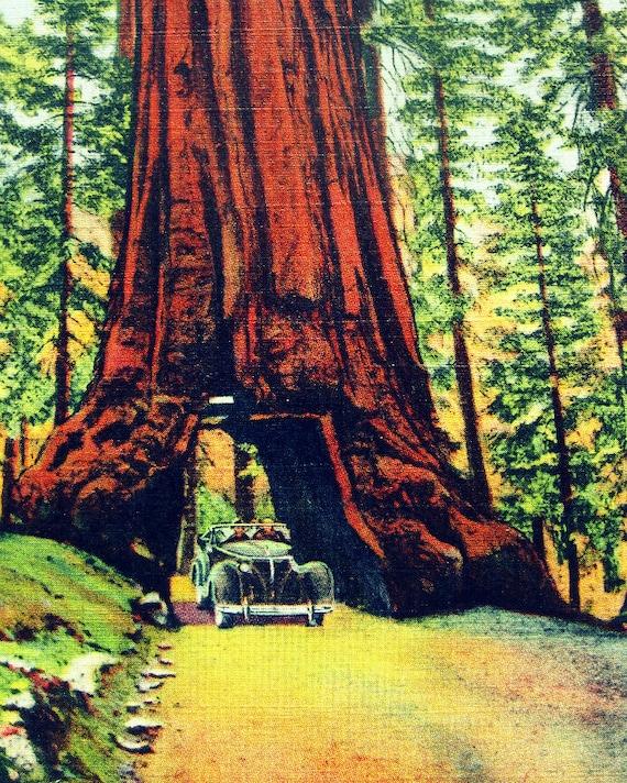 Yosemite National Park Vacations: Sale YOSEMITE TREE 8x10 Art Photo Print 1930s Vintage Yosemite