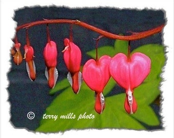 Bleeding Hearts In Pink Fushia, Hot Pink, Green And Red      8x10