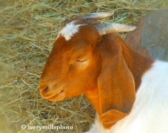 Red Head Goat With White Spot and Horns  5x7