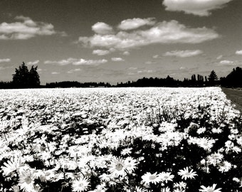 Field of Daisies  and Fluffy White Clouds 8x10