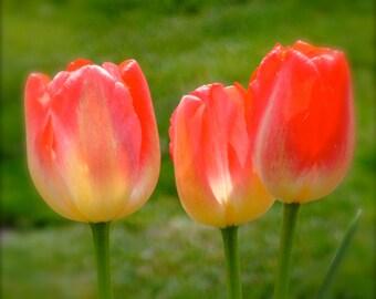Three Orange Yellow Red Tulips 5x5
