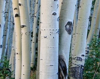 Photograph of aspen tree trunks in autumn, Rocky Mountains, Colorado
