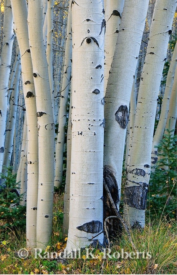 Photograph of aspen tree trunks in autumn, Rocky Mountains, Colorado