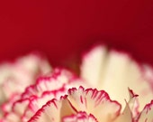 Macro Carnation Photograph, Fine Art Print, 8 x 10, Nature Prints, Botanical Images, Flowers, Valentine, Home Decor, Affordable Art