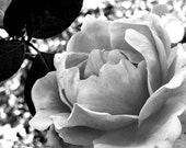 Black and White Photography Rose Fine Art Print 5 x 7 Metallic Photo Home Decor Nature Botanical Floral Affordable Art Dramatic Contrast