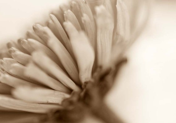 Sepia Mum Fine Art Macro Photography Print 5 x 7 Chysanthemum Nature Fall Autumn Retro Chic Shabby Cottage Floral Wall Art