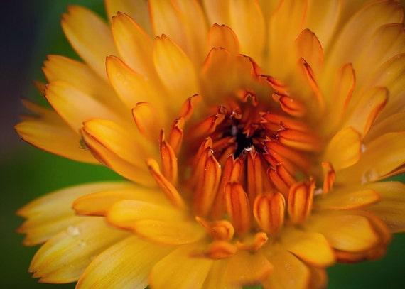 Macro Flower Photography Orange Fine Art Print Metallic 5 x 7 Nature Botanical Floral Image Spring Summer Sunshine Colorful Affordable