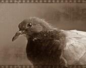 Portrait of A Pigeon - Part 2 - 8x10 Fine art Photograph - City Birds, Dusty Pink and Grey Wall Art, Bird Art