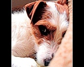 Custom JACK RUSSELL Terrier Pet ILLUSTRATION Artwork from Your Photograph