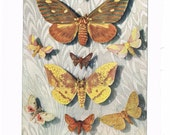 Antique 1927 Moth Print, Paper Ephemera, Species Identification Full Page Color Illustration, Collage Supplies, Art for Framing