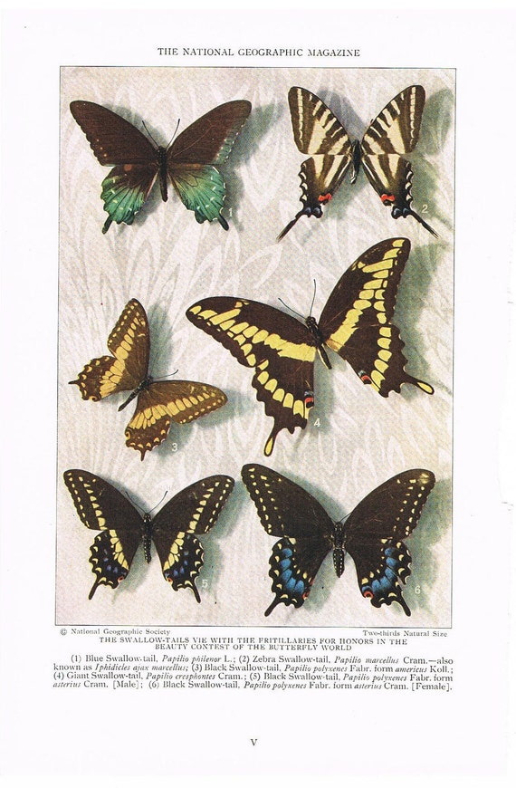 Antique 1927 Butterfly Print, Paper Ephemera, Full Page Color Illustration, Collage Supplies, Home Decor, Art for Framing (V)