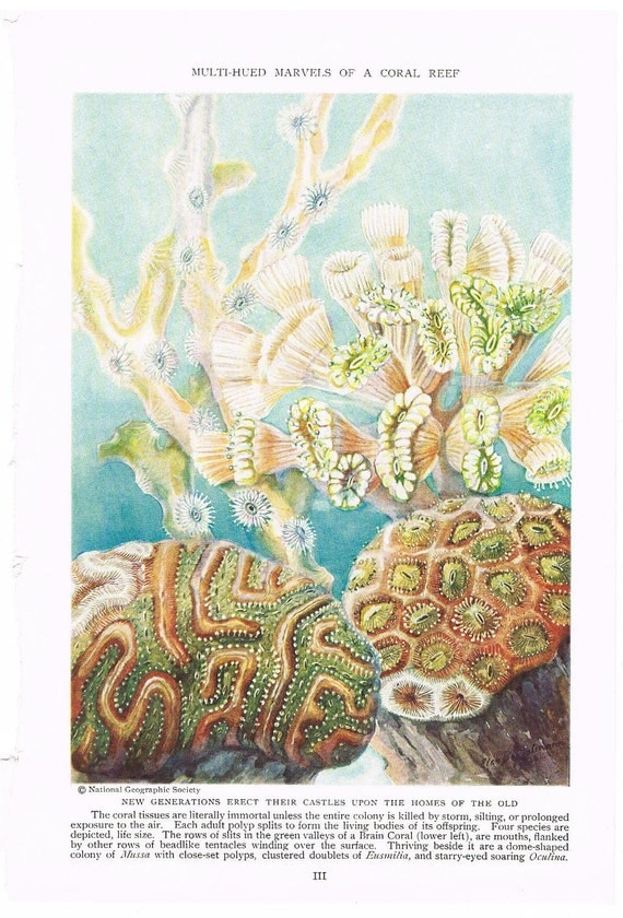 Colorful Coral Illustration, Home Decor, Double Sided Art Print, Book Plate, Ready for Framing, 1934 Publication Page, Art by Else Bostelma