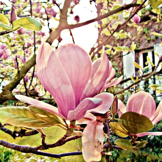photography of early spring bloom of pink magnolias in garden