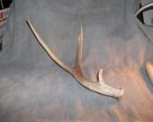 mule deer antler 3 point