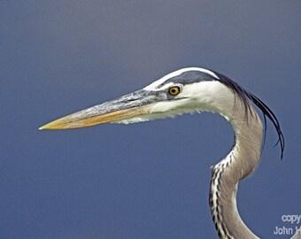 Great  Blue Heron Up Close A Bird Fine Art Photo