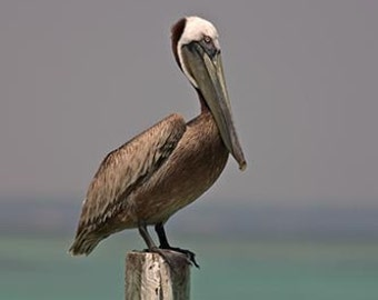 Brown Pelican Resting on a Piling at Dewy Destins On Florida's Gulf Coast