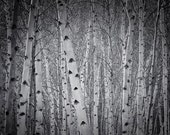 A mini forest of Silver Birch trees creating an oasis of calm in a big city - Photography Print