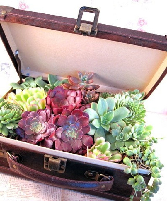 Suitcase of Living Succulents