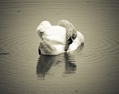 White Swan sleeps in the nature reserve island of Cona in Italy, Original Signed Sepia Photo, nature photography