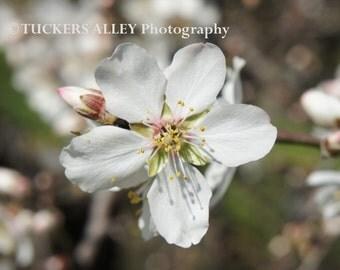 Almond Blossom 8x10 photo