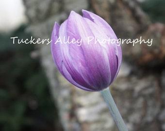 Purple Passion 8x10 Photograph