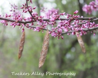 Blooming purple pink spring tree branch with seed pods 8x10 photo