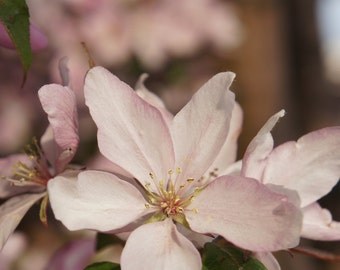 Spring Flowering Trees  8x10 photographs (Choose one)