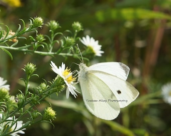 White Butterfly 8x10 photograph (choose one)