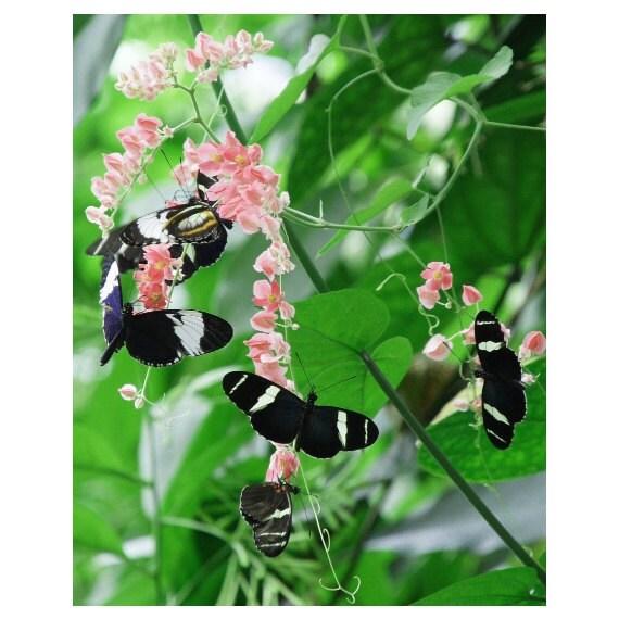 Butterflies 8X10 Photo