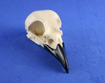 handmade replica magpie skull