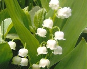 Flower Photography Lily-of-the-Valley on Blank Note Card - Delicate Fragrant White Beauties Beautiful All Occasion Note Card Springtime