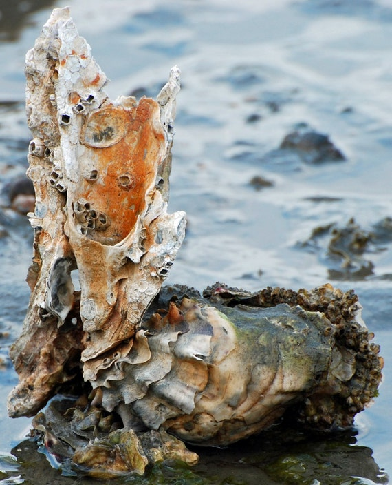 oyster shells-11x14 photograph- Big Beef creek, Washington