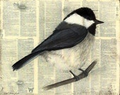 Chickadee, a fine feathered friend
