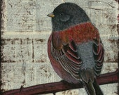 Junco, the dark eyed variety.