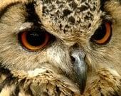 Eagle Owl 10x8 print