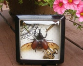 Winged Navigator - Real Beetle - Xylotrupes Gideon Lamarchus