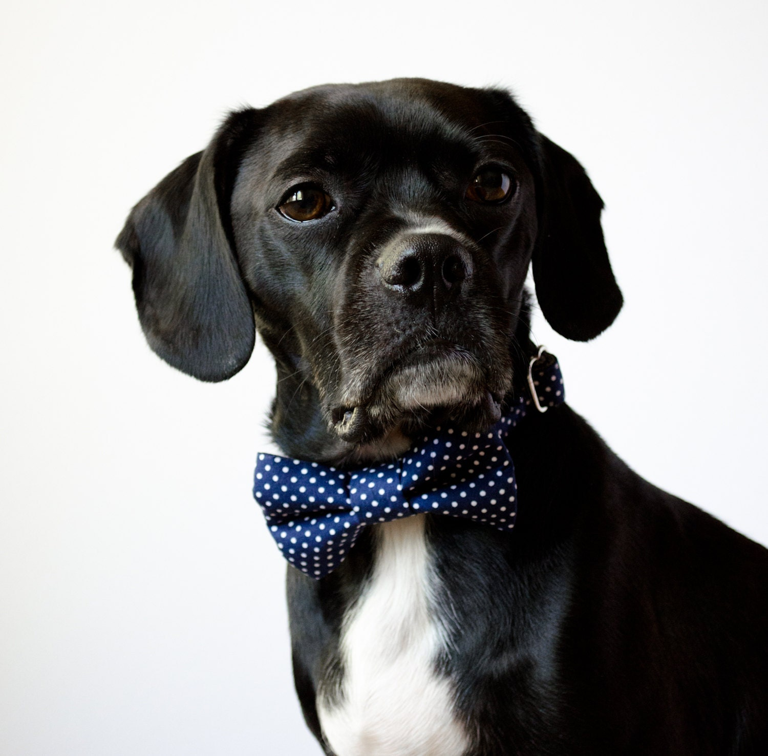 Navy Blue Polka Dot Bow Tie Dog Collar by SillyBuddy on Etsy