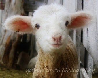 little grinny - lamb photography - fine cards (and farm fresh)