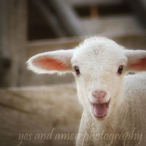 Yes - fine 8x8 photograph (and farm fresh) lamb photography